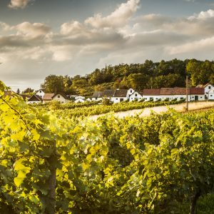 Weinviertel Tourismus, ACT Austria Partner, Wein- und Genusserlebnis Österreich, Weinviertel Weingarten Galgenberg